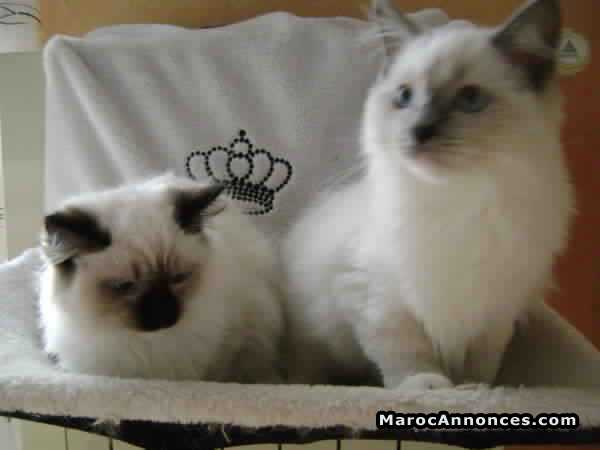 Chatons Ragdoll Pure Race Age 2 Mois Animaux 16h23 25 09 2018