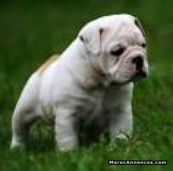 Bulldog Anglais à Vendre Animaux 11h58 06 07 2018