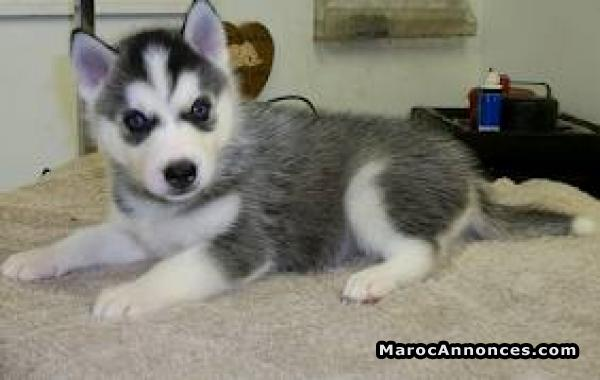 Chiots Husky A Vendre Animaux 02h56 13 07 2018